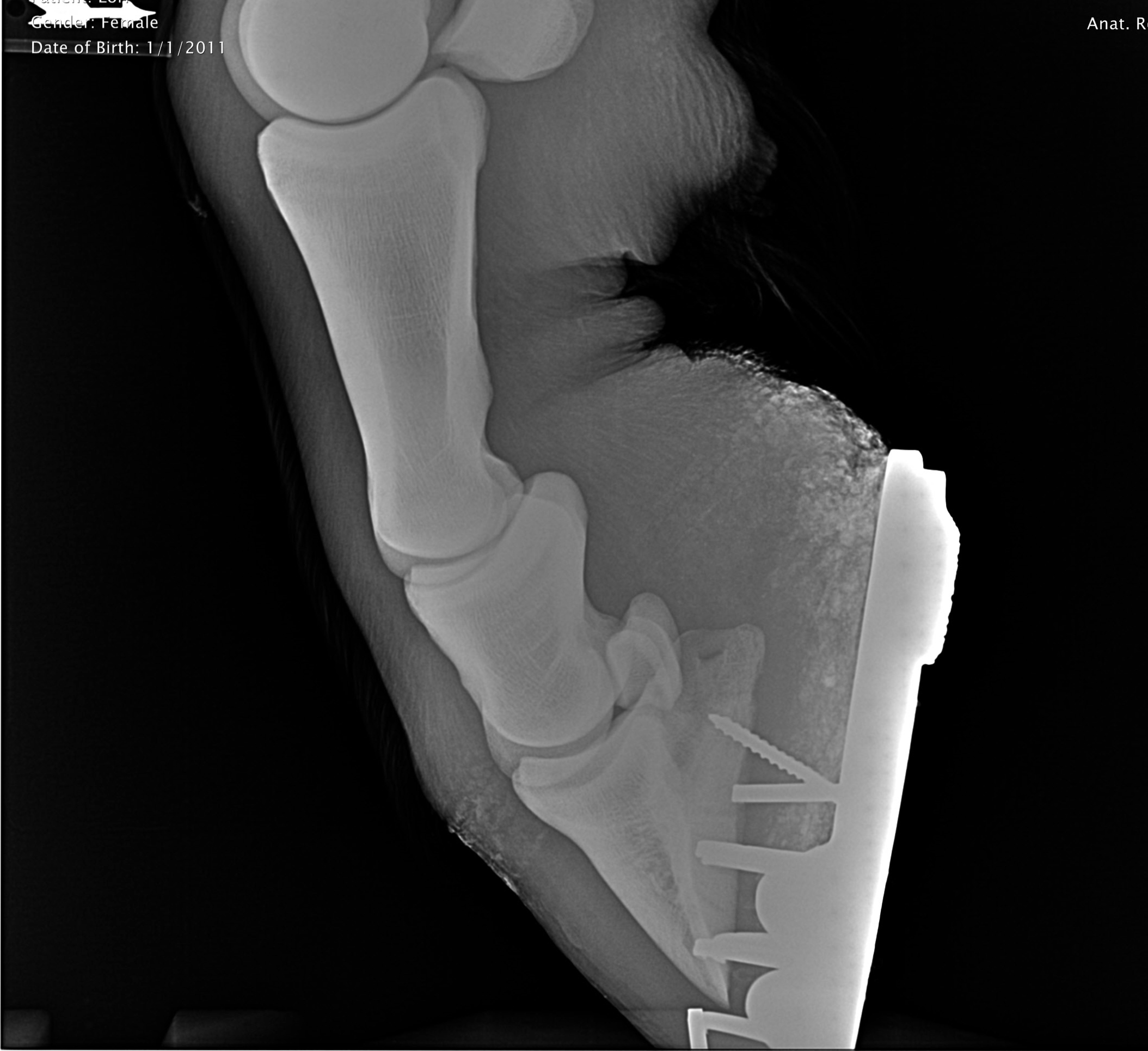 X-Ray of fractured front leg